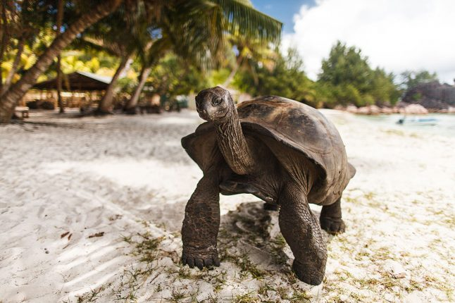 Aldabra Tortoise on Curieuse Island