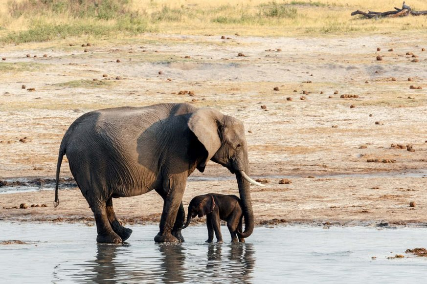 African Elephants with Baby Elephant Drinking at Waterhole Hwange National Park