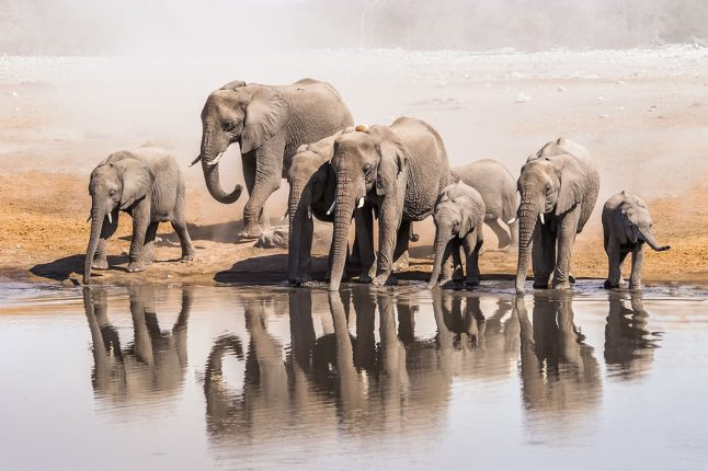 Family of African Elephants Drinking at a Waterhole in Etosha National Park