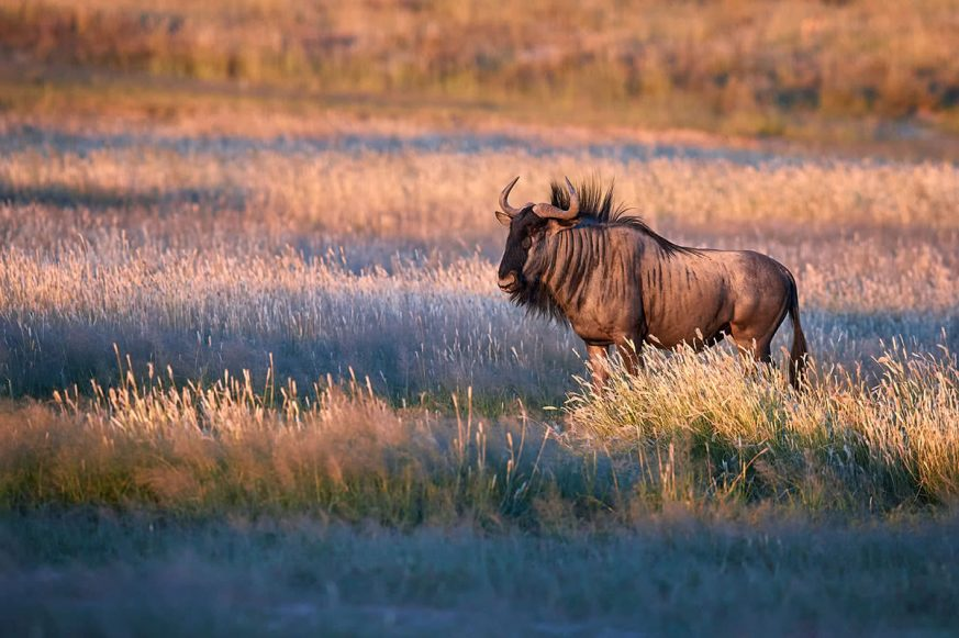 Antelope in Grassy Area