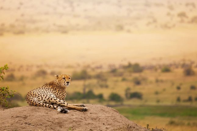 Adult African Cheetah Laying on the Hill