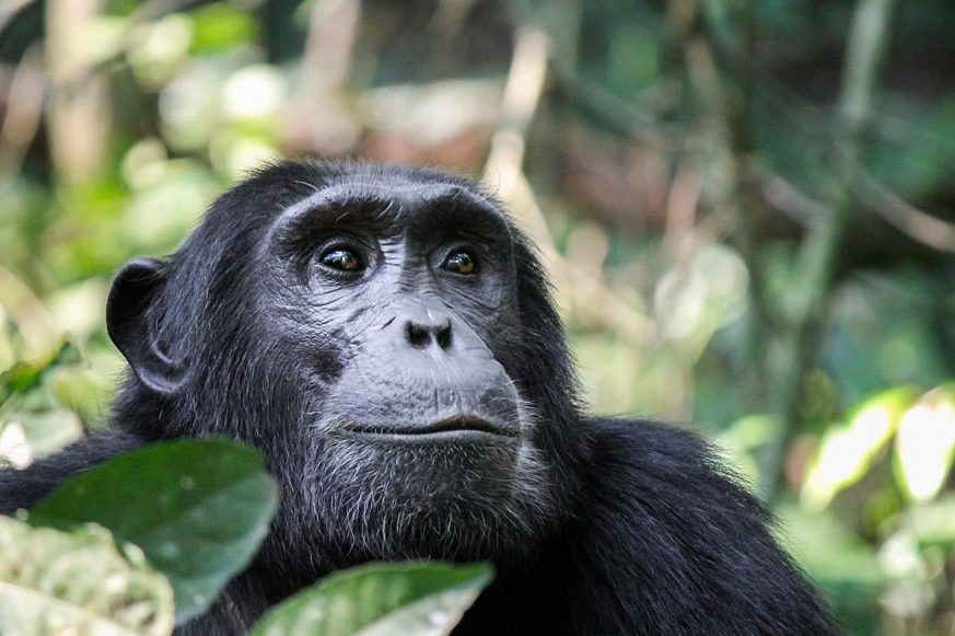 Chimpanzee, Kibale Forest National Park, Rwenzori Mountains, Uganda, Africa