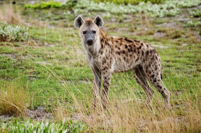 Curious Hyena