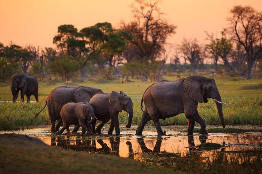 Herd of Elephants Walking Through Water