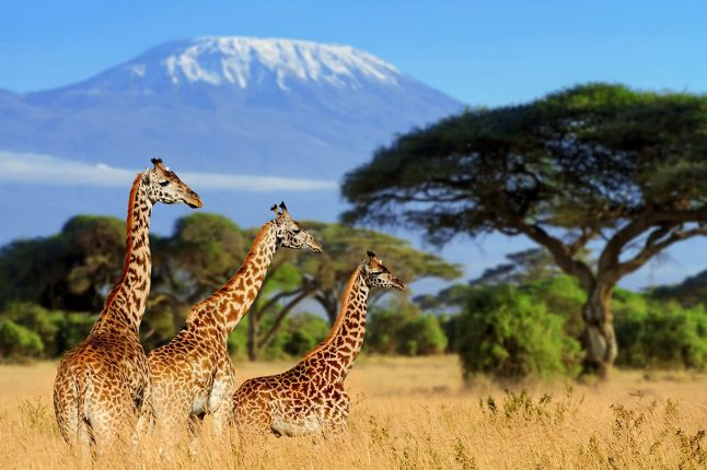 Giraffes with Mt. Kilimanjaro in the Background