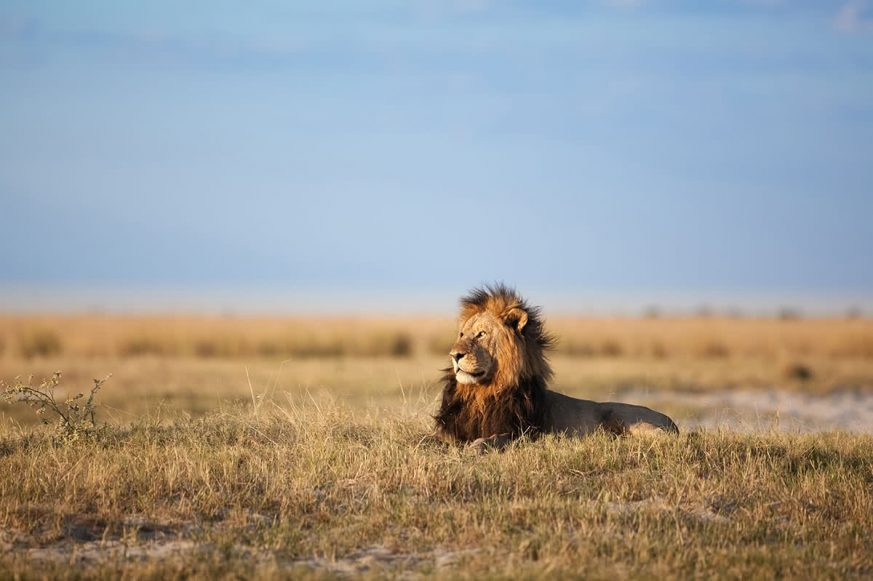 African Lion in Savanna