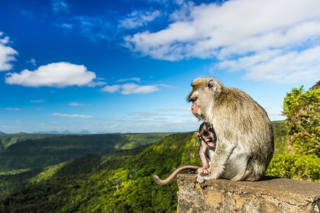 Monkeys at the Gorges Viewpoint. Black River Gorges National Park, Mauritius