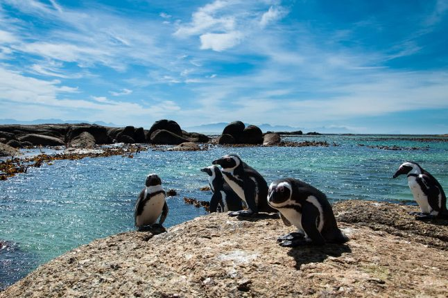 Penguins at Boulders Beach, Cape Town