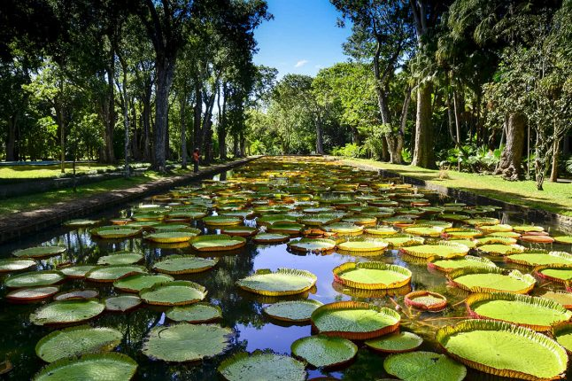 Giant Water Lilies in Pamplemousses Garden in Mauritius