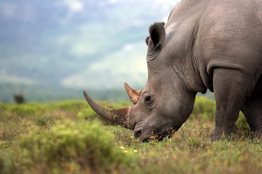 Endangered White Rhinoceros