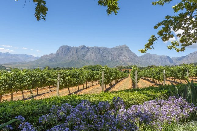 Grape Wineland Countryside in Cape Town, South Africa