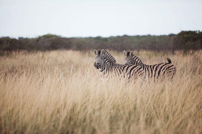 Zebras in the Long Grass at Phinda Game Reserve, South Africa