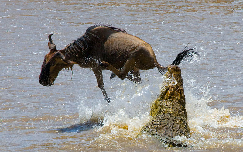 Crocodile Attacking Wildebeest in Mara River