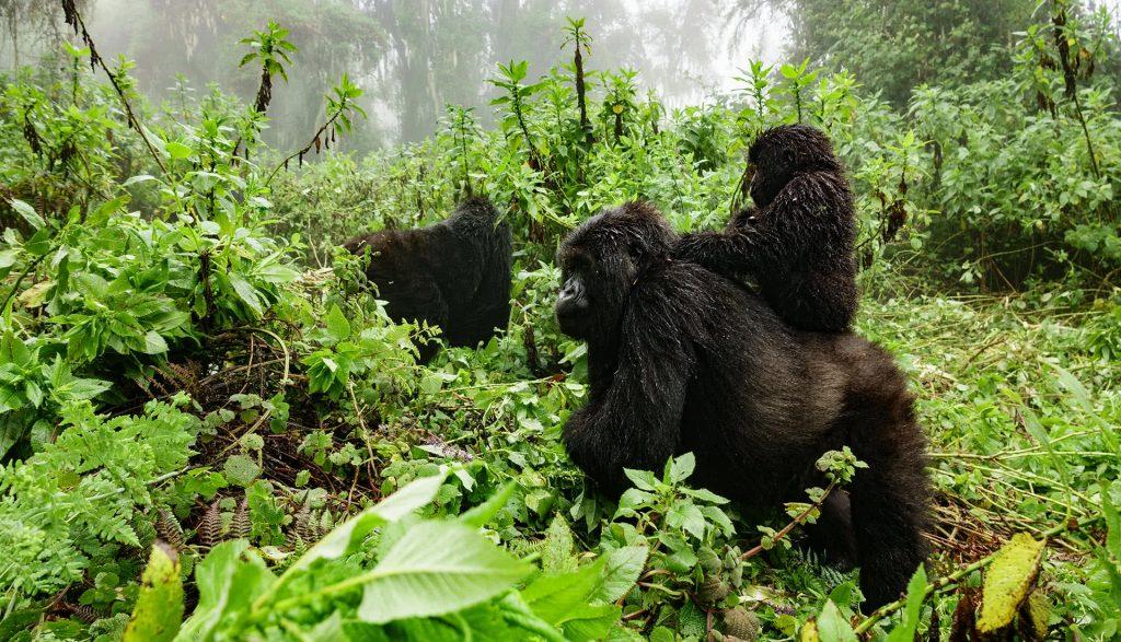 Family of Gorillas in Rwanda