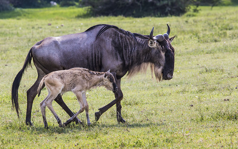 A Wildebeest Mother and Newly Born Calf, Ngorongoro Crater, Tanzania