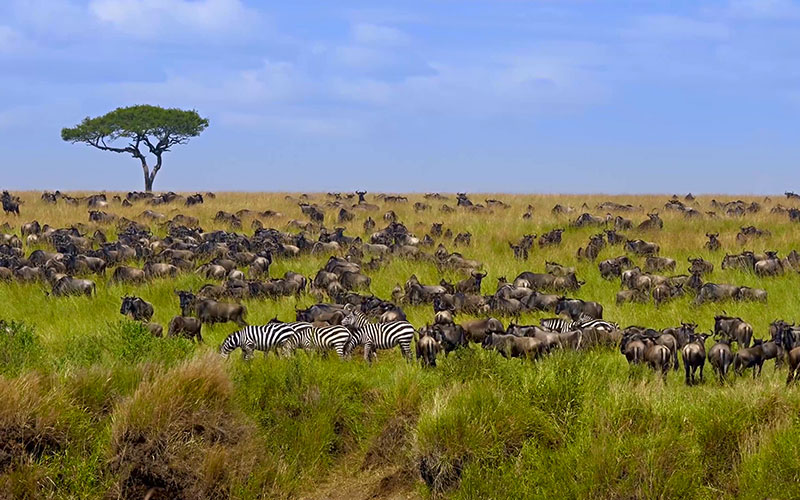 Big Herd of Wildebeest in the Savannah