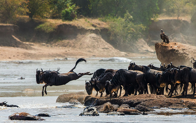 Wildebeests Jumping into Mara River