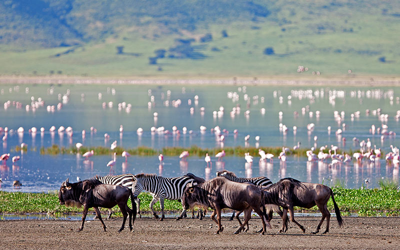 Zebras and Wildebeest Walking Along Lake in the Ngorongoro Crater, Tanzania