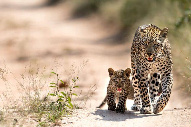 leopard-sabi-sands_guetzli