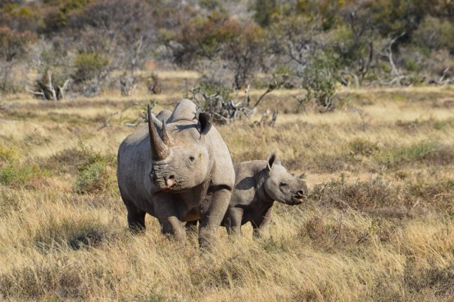 black-rhinos-in-sa
