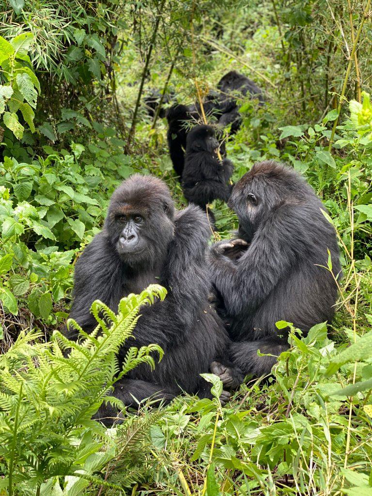 gorilla-ubuntu-travel
