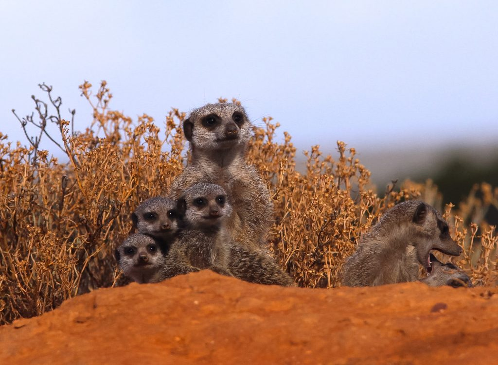 Meerkats in Botswana | Ubuntu Travel